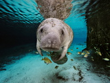 Florida Manatee in a Fresh Water Spring Fish Eat Algae on it's Body