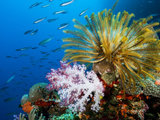 Chrinoid and a Soft Coral Tree Decorate the Edge of a Coral Reef