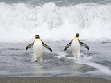 King Penguins Emerging from the Sea after Bathing and Fishing