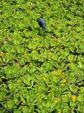 A Little Blue Heron  Egretta Caerulea  Hunts Among Water Lettuce