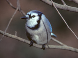 A Blue Jay  Cyanocitta Cristata  Perched on a Tree Branch