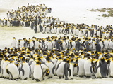 King Penguins  Aptenodytes Patagonicus  Standing Together in Snow