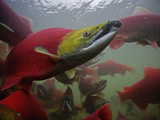 Sockeye Salmon Find their Way from the Ocean to their Natal Stream