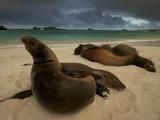 Galapagos Sea Lions  Zalophus Wollebaeki  on the Beach