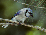 A Blue Jay  Cyanocitta Cristata  Perched on a Pine Tree Branch