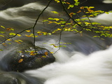 An Autumnal Tree Hanging over a River Flowing around a Boulder