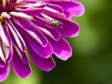 An Extreme Close Up of a Purple Zinnia Flower with a Ladybug
