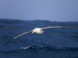 A Wandering Albatross  Diomedea Exulans  Flying Low Above Waves