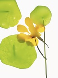 Yellow Nasturtium Flower with Green Leaves
