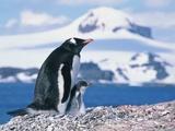 Mother and baby gentoo penguins Papier Photo par Kevin Schafer
