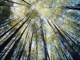 Bamboo Trees in Rainforest  Japan