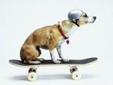 Dog with Helmet Skateboarding