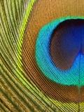 Peacock Feather Papier Photo par Tom Grill