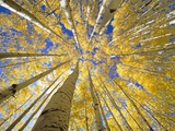 Quaking Aspen Grove in Fall, Colorado Papier Photo par John Eastcott & Yva Momatiuk