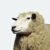 Wooly Sheep Papier Photo par Adrian Burke