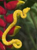 Eyelash Viper Snake on Heliconia Flower