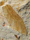 Fossil Leaf of Seed Fern