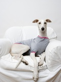Greyhound Wearing a T-Shirt