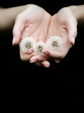 Handful of Dandelions