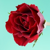 Red Rose with Wavy Petals