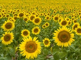 Champ de tournesols Papier Photo par John Eastcott & Yva Momatiuk
