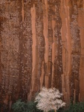 Chokecherry Tree Against Red Canyon Wall