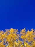 Yellow Aspens and Blue Sky Papier Photo par John Eastcott & Yva Momatiuk