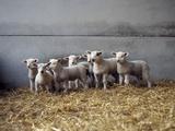Lambs in Barn Papier Photo par Adrian Burke