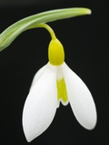 Close-Up View of Wendy's Gold Snowdrop Flower