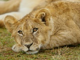 Young Lion in Grass