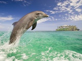 Bottlenosed Dolphin Leaping in Caribbean Sea