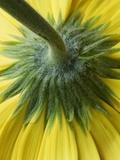 Close-Up of Back of Yellow Gerbera Daisy