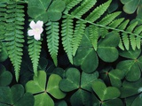 Redwood Sorrel and Bracken Fern