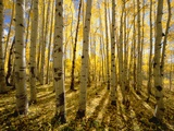 Aspen Trees in Autumn Papier Photo par John Eastcott & Yva Momatiuk
