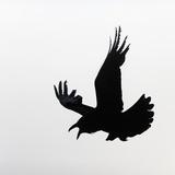 Common Raven Screaming