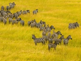 Zebra Herd in Masai Mara National Reserve