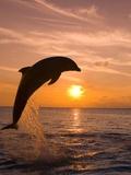 Bottlenosed Dolphin Leaping at Sunset Papier Photo par Craig Tuttle