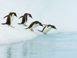 Gentoo Penguins Contemplating Jumping into Gerlache Strait Papier Photo par John Eastcott & Yva Momatiuk