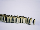 Emperor pinguins standing in a row  side view