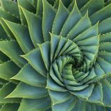 Succulent with Spiked Leaves Papier Photo par Micha Pawlitzki