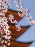 Cherry Blossoms at Itsukushima Jinja Shrine