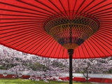 Red Japanese Parasol and Pink Cherry Blossoms