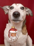 Jack Russell Terrier Holding Christmas Ornament