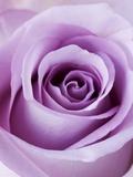 Light Purple Rose Papier Photo par Clive Nichols