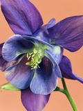 Common Columbine Blossom