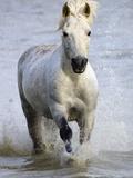 Camargue Horse Running in Water