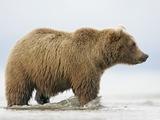 Shaggy Brown Bear in Stream
