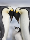 Emperor Penguins and Chick in Antarctica