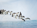 Gentoo Penguins Jumping Off Iceberg into Gerlache Strait Papier Photo par John Eastcott & Yva Momatiuk