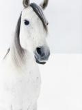 White Horse in Snow Papier Photo par Birgid Allig